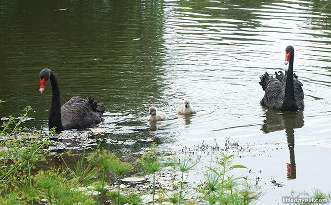 04-baby-swans-singapore-botanic-gardens