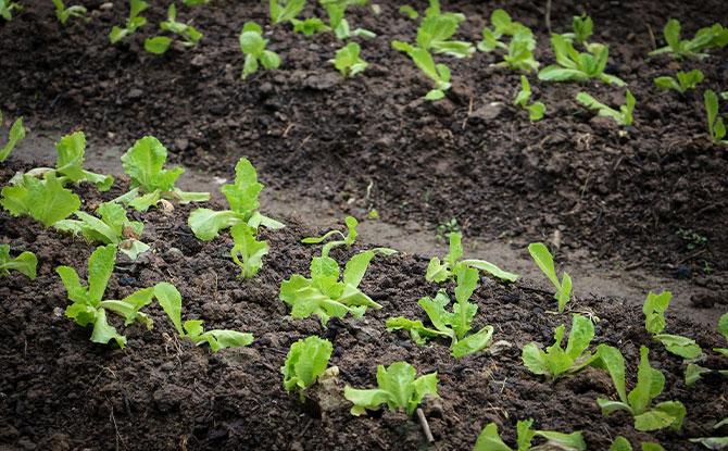 growing farm plants