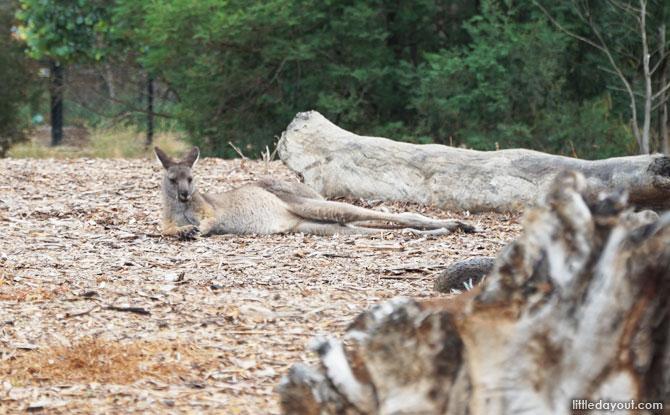 Kangaroo at the Australian Trail