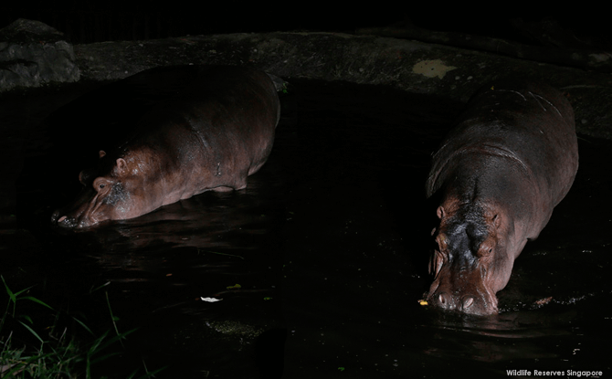 Night Safari Nile Hippo