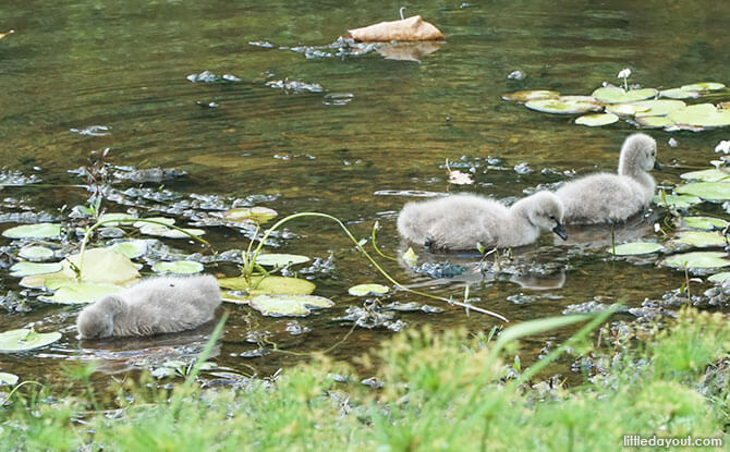 Baby Swans or Cygnets at Singapore Botanic Gardens – Not Ugly Ducklings