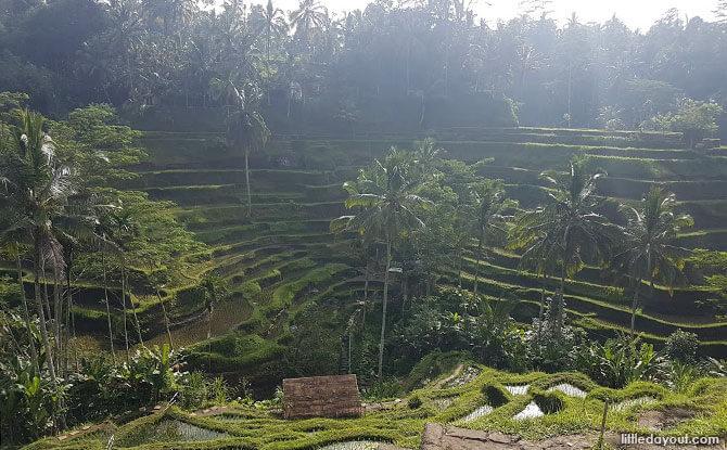 Rice Terraces in Bali & Campuhan Ridge Walk