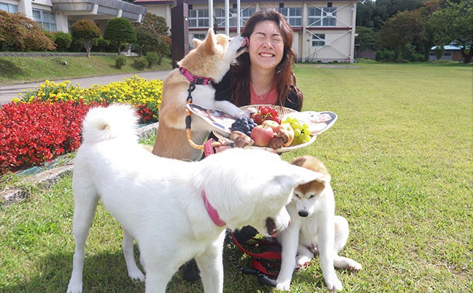 Autumn party with Akita Inu dogs
