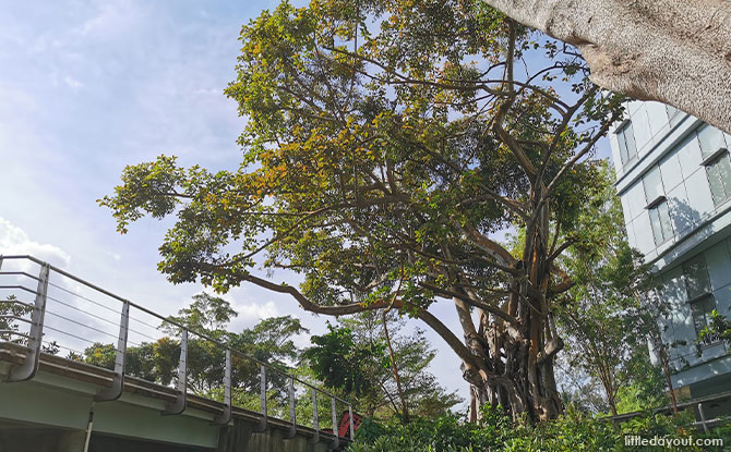 Ficus trees, also known as Banyan trees