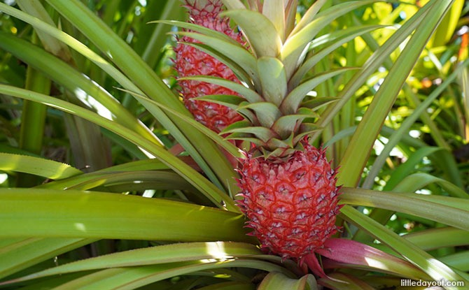 Things to See at the Yuen Peng McNeice Bromeliad Collection