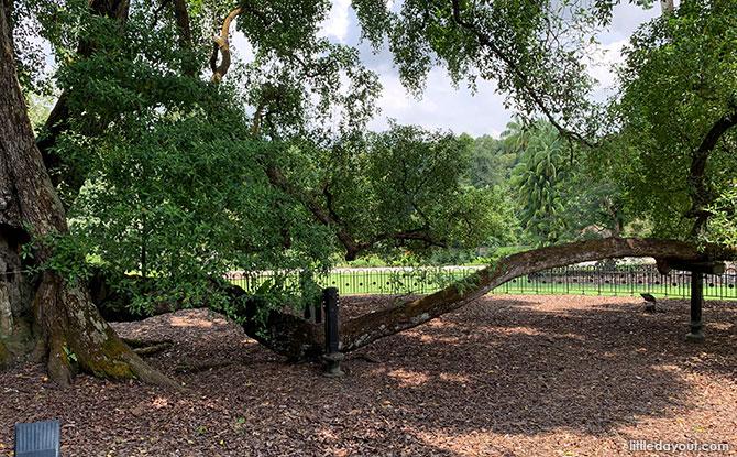 Singapore Botanic Gardens' Heritage Tembusu Tree