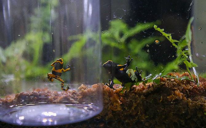 S.E.A. Aquarium - A baby yellow-banded poison arrow frog