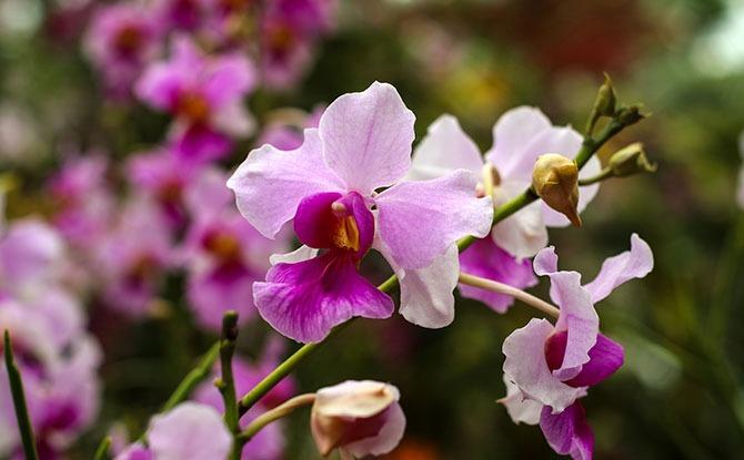 Our National Flower – Vanda Miss Joaquim