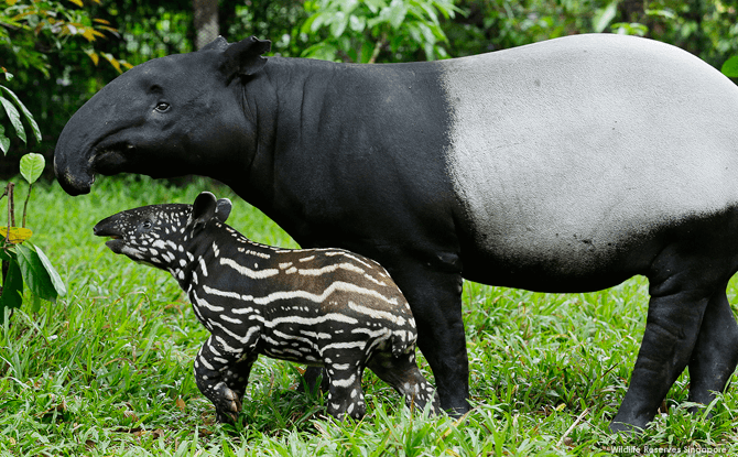 Night Safari Malayan Tapir