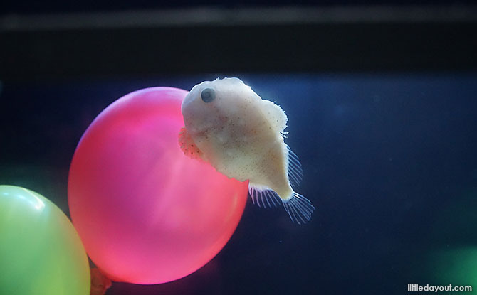 Close up of Balloon Fish at Shinagawa Aquarium