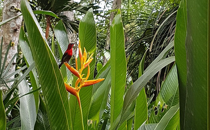 Singapore's National Bird – The Crimson Sunbird