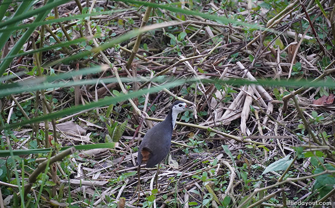 Sengkang Floating Wetland white breasted waterhen