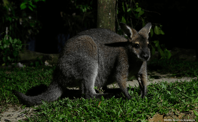 Night Safari Bennetts Wallaby