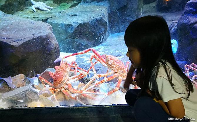 Japanese Spider Crabs at Ocean Park Hong Kong