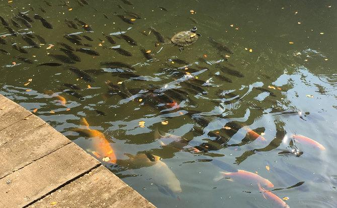 Singapore Botanic Gardens fish feeding