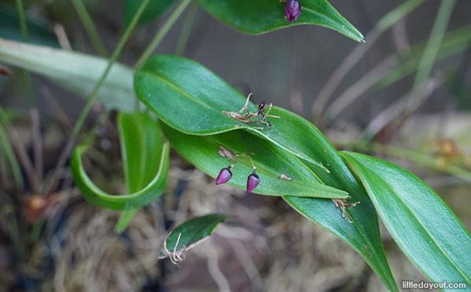 Flowers from the Pleurothallis species