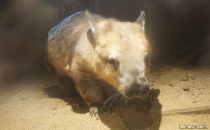 Wombat at the Melbourne Zoo