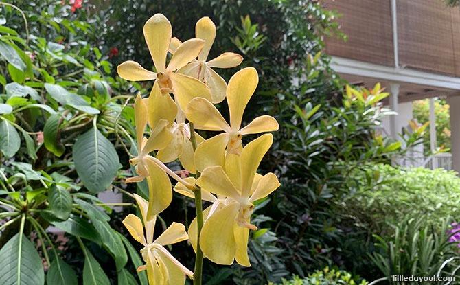 Aranda Lee Kuan Yew Orchid