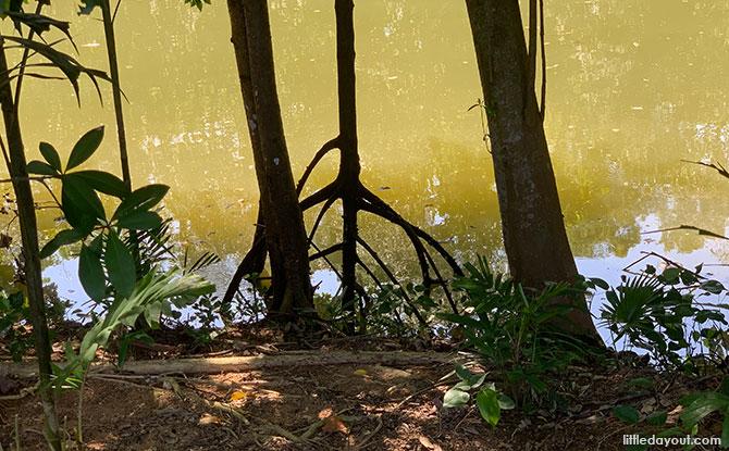 Mangrove at Sungei Api Api