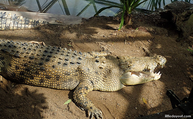 Goliath the crocodile