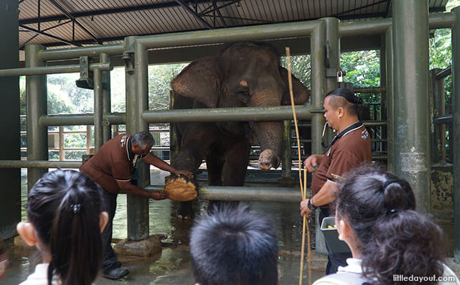 Singapore Zoo's elephant keepers demonstrating how they cared for the elephants