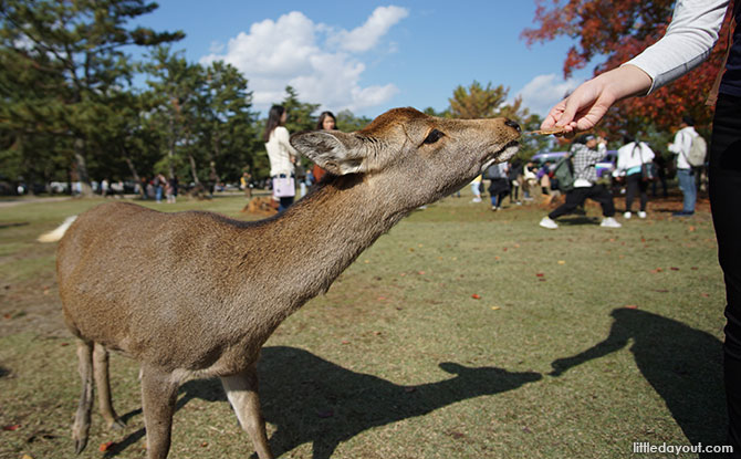 Feeding deer at Nara Park.