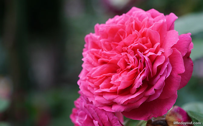 Princess Anne Rose