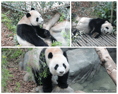 Giant Panda Forest, River Safari