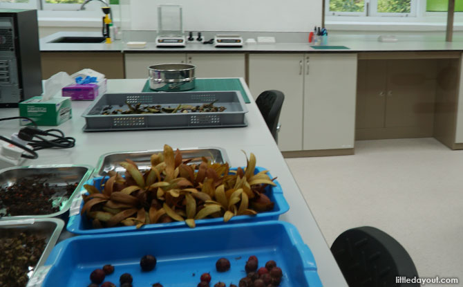 Seeds being processed in the lab at the Singapore Botanic Gardens Seed Bank.