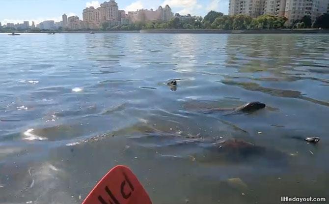 Kayaking And Otters at the Marina Bay