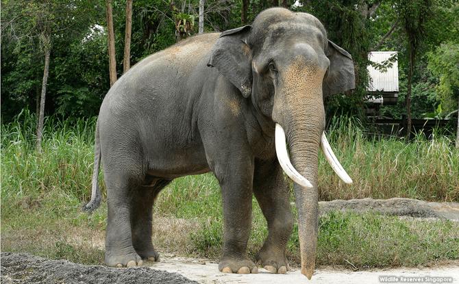 Night Safari Asian Elephant