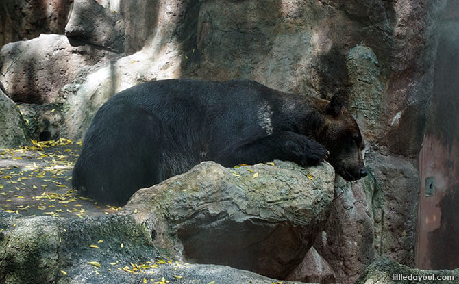 Hokkaido Brown Bear at Bear Hill