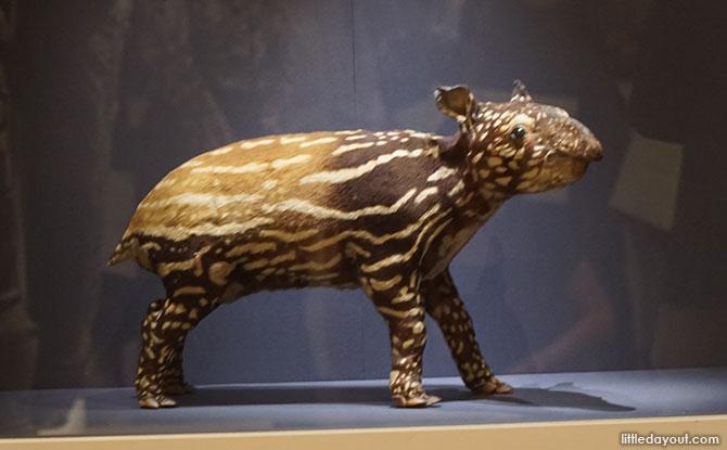 Tapir Specimen
