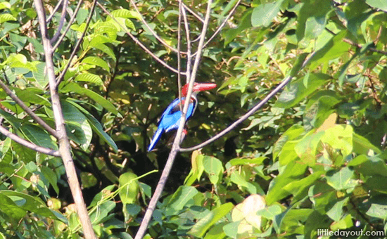 Kingfisher - Nature Reserves in Singapore