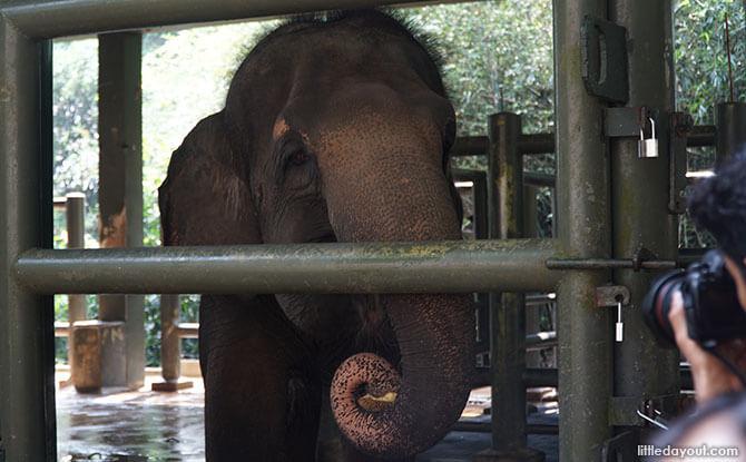 Intan, a 24-year-old female elephant