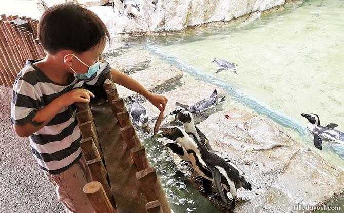 Penguin feeding experience at Jurong Bird Park