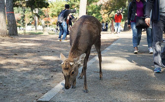 Nara Park's Deer