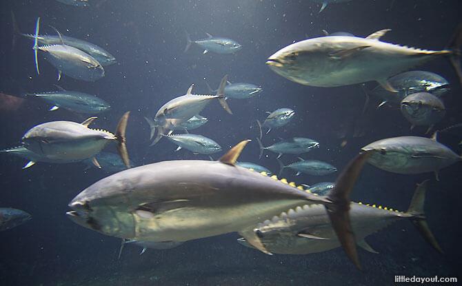 Tokyo Sea Life Park Tuna Exhibit