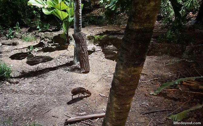 Mousedeer at the Night Safari