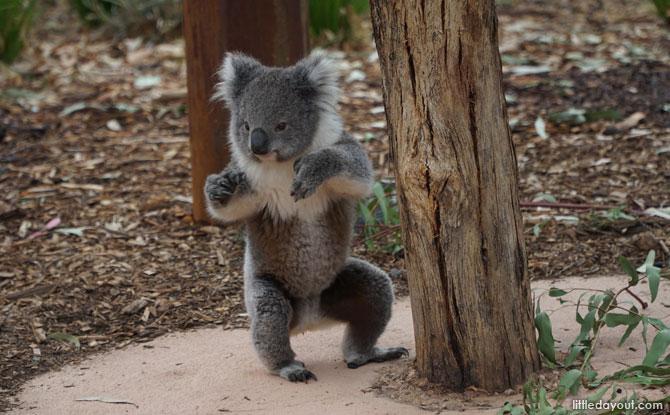 Koala at the Werribee Open Range Zoo