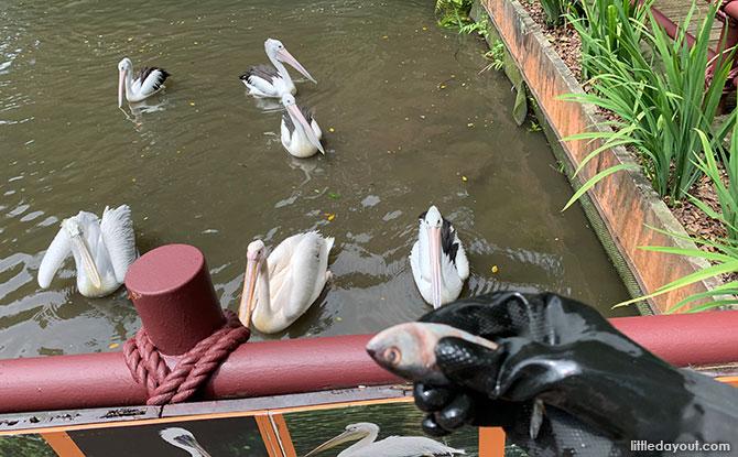 Pelican feeding at Jurong Bird Park