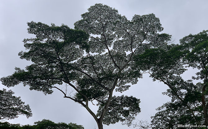 Trees at the Clementi Forest