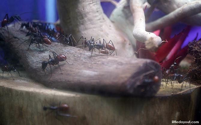 Singapore Ants Exhibition