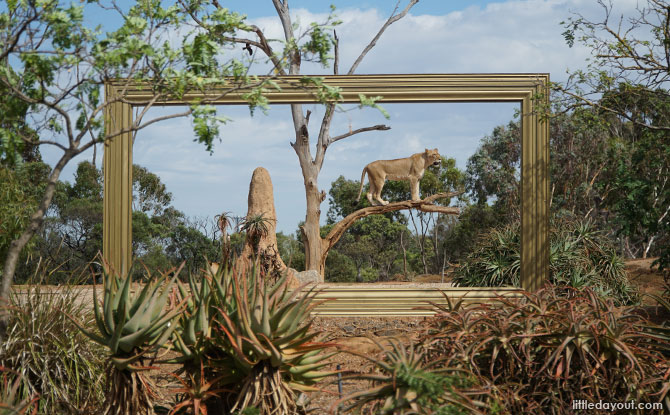 Lions at the Werribee Zoo