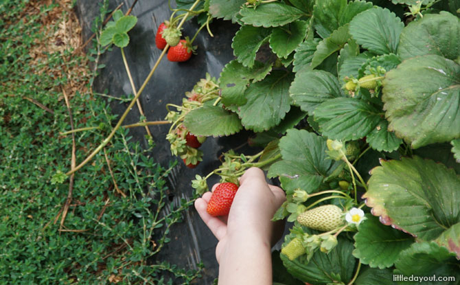 Picking strawberries by hand.