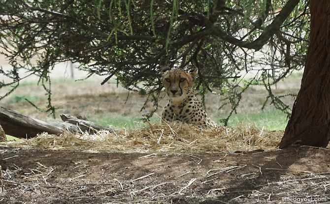Cheetah at the Werribee Zoo