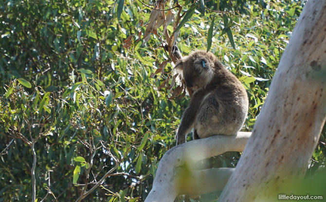 Koalas the Phillip Island Koala Reserve.