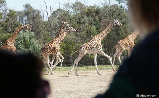 Galloping giraffes