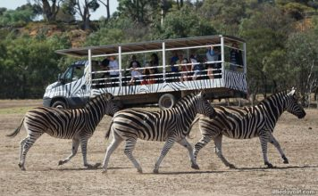 A Safari Adventure at Werribee Open Rang Zoo in Melbourne