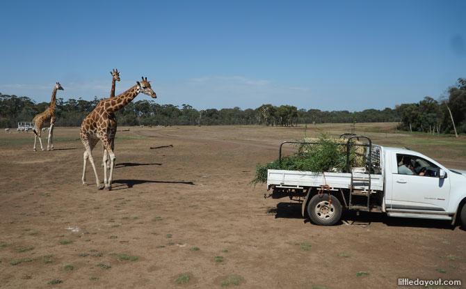 Giraffes looking for food
